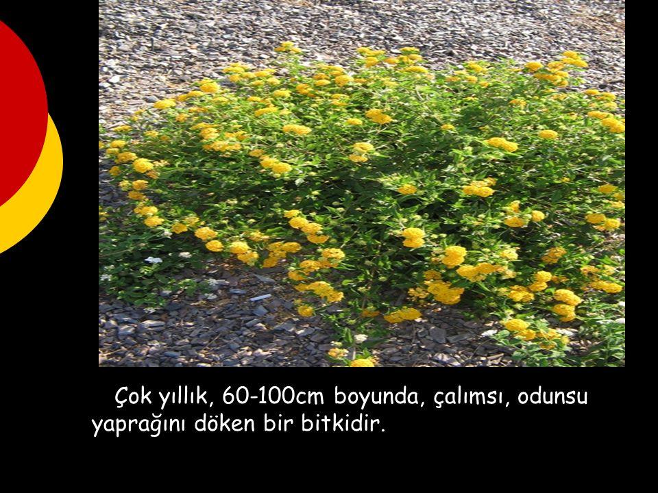 Çok yıllık, 60-100cm boyunda, çalımsı, odunsu yaprağını döken bir bitkidir.