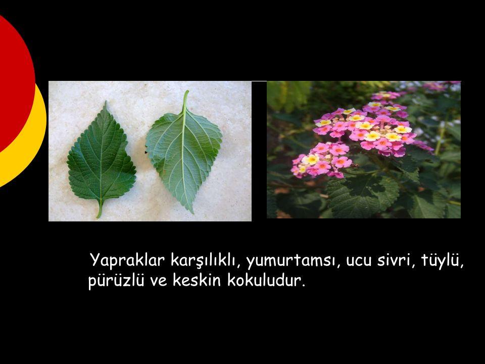 Yapraklar karşılıklı, yumurtamsı, ucu sivri, tüylü, pürüzlü ve keskin kokuludur.