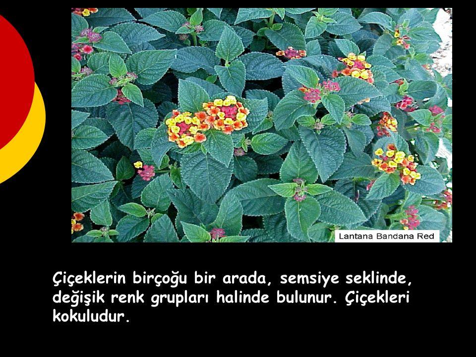 Çiçeklerin birçoğu bir arada, semsiye seklinde, değişik renk grupları halinde bulunur. Çiçekleri kokuludur.