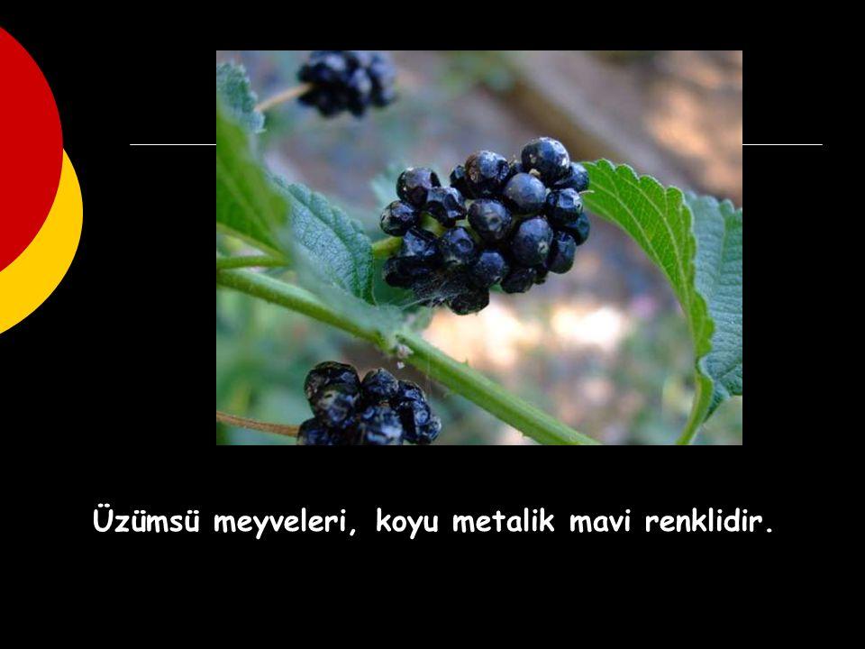Üzümsü meyveleri, koyu metalik mavi renklidir.