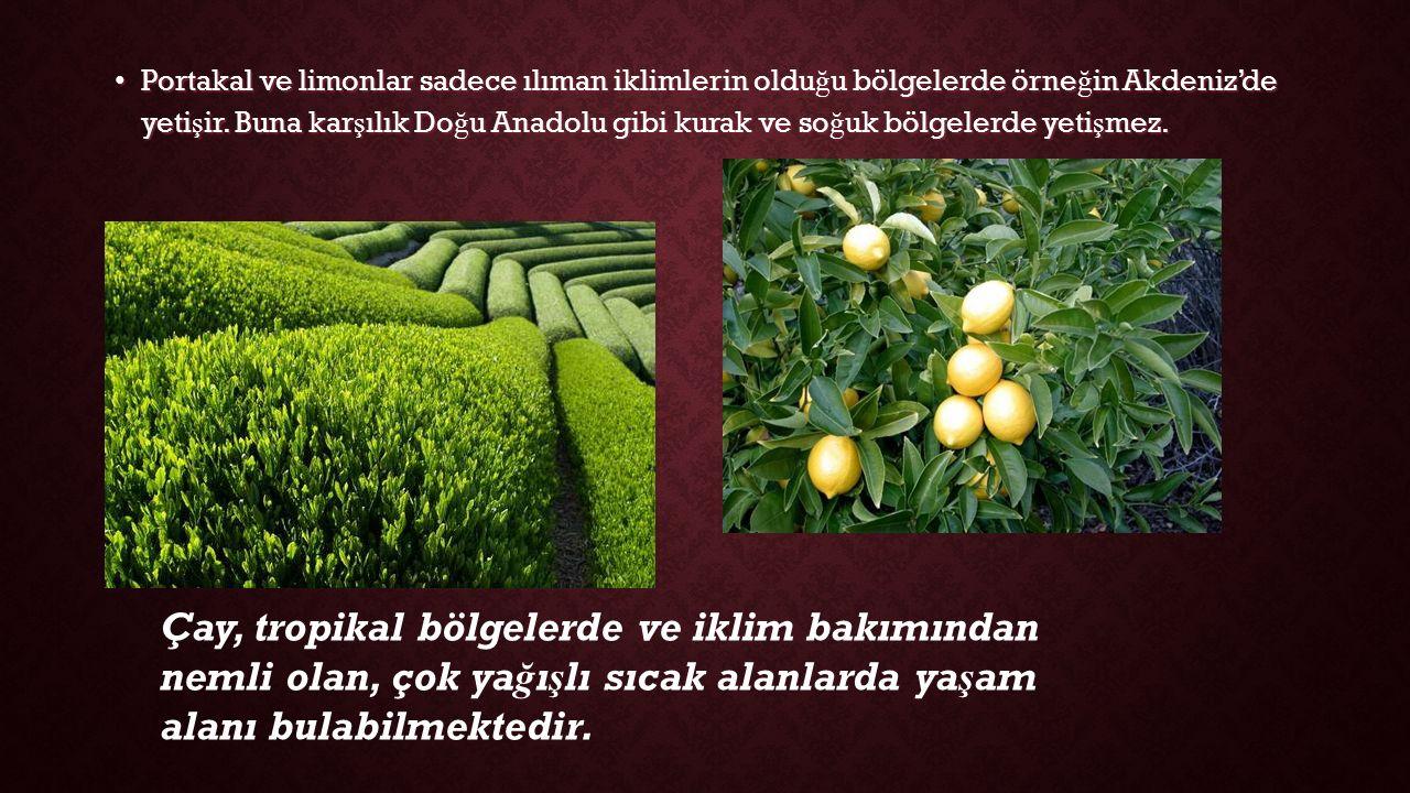 Portakal ve limonlar sadece ılıman iklimlerin oldu ğ u bölgelerde örne ğ in Akdeniz'de yeti ş ir.