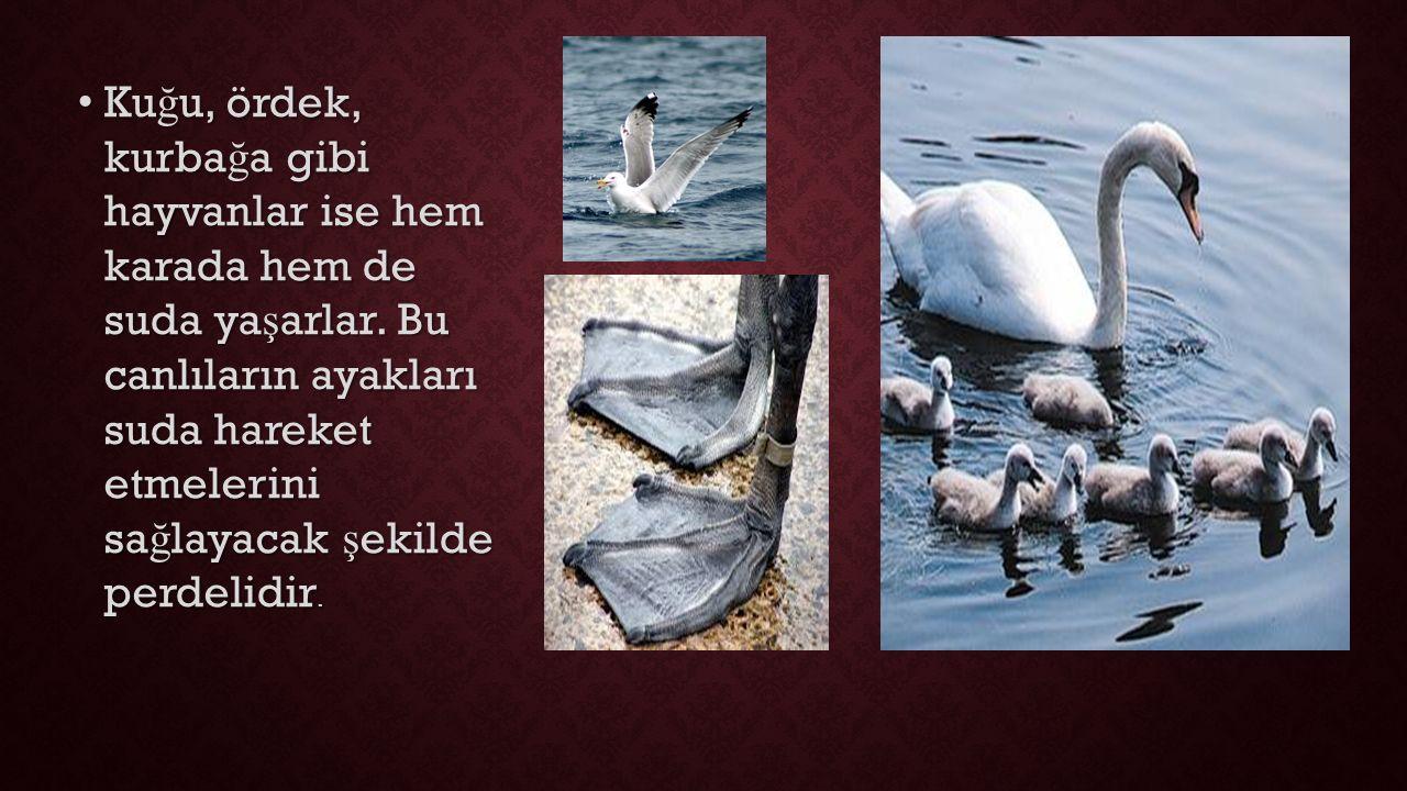 Ku ğ u, ördek, kurba ğ a gibi hayvanlar ise hem karada hem de suda ya ş arlar.