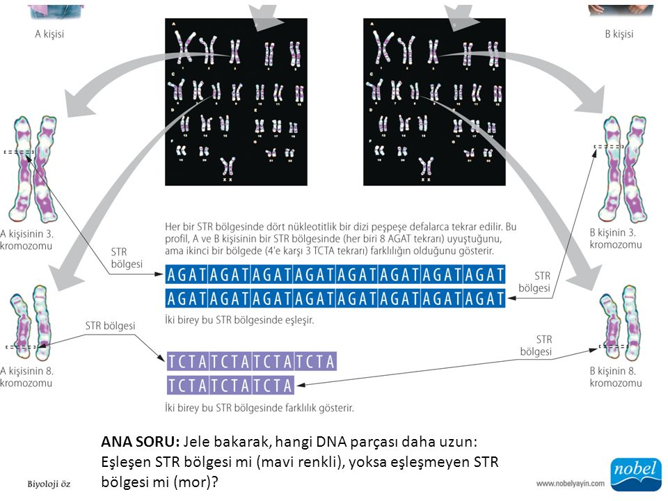 ANA SORU: Jele bakarak, hangi DNA parçası daha uzun: Eşleşen STR bölgesi mi (mavi renkli), yoksa eşleşmeyen STR bölgesi mi (mor)?