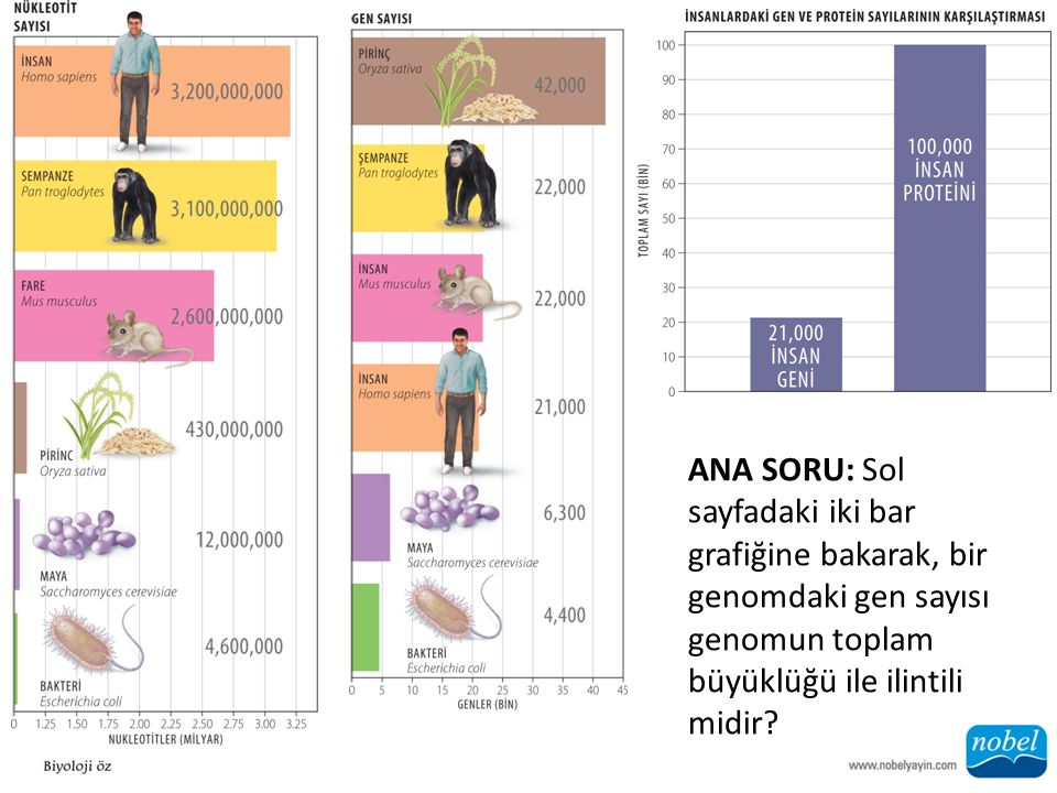 ANA SORU: Sol sayfadaki iki bar grafiğine bakarak, bir genomdaki gen sayısı genomun toplam büyüklüğü ile ilintili midir