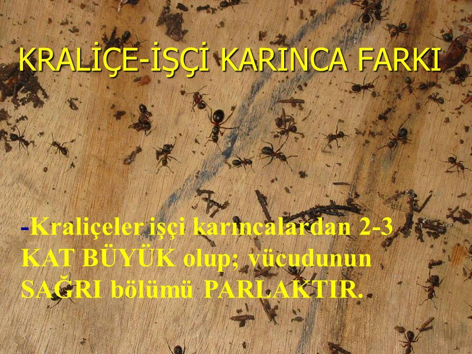 -Kraliçeler işçi karıncalardan 2-3 KAT BÜYÜK olup; vücudunun SAĞRI bölümü PARLAKTIR. KRALİÇE-İŞÇİ KARINCA FARKI