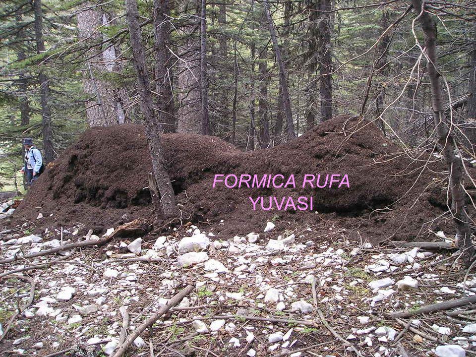 FORMICA RUFA YUVASI