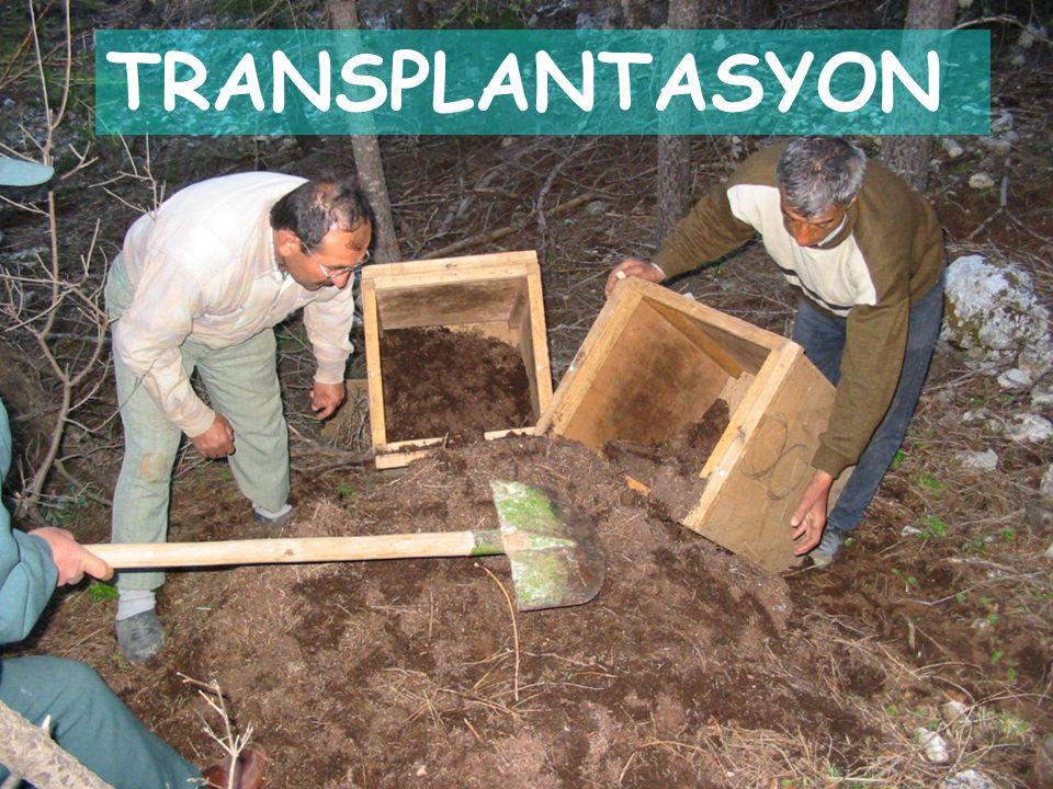 TRANSPLANTASYON