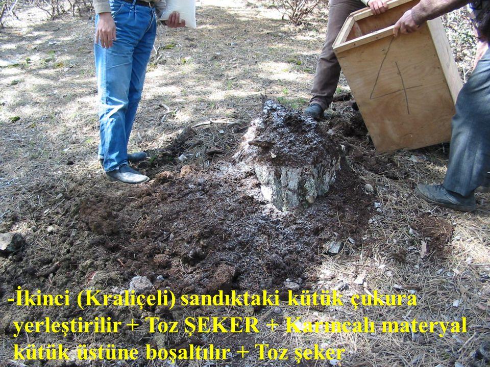 -İkinci (Kraliçeli) sandıktaki kütük çukura yerleştirilir + Toz ŞEKER + Karıncalı materyal kütük üstüne boşaltılır + Toz şeker