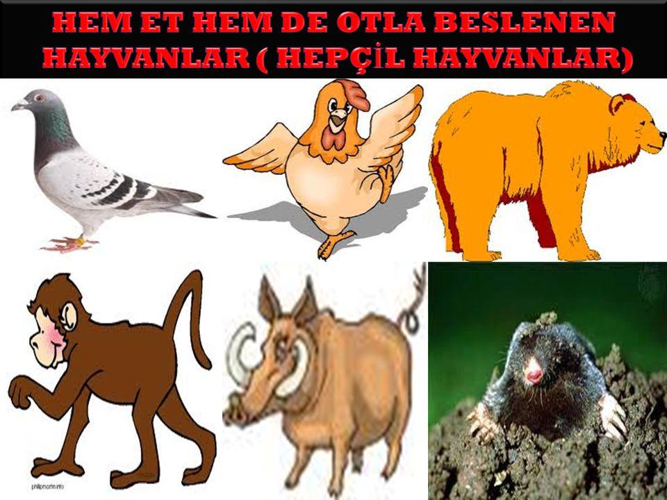 3-Üçüncül Tüketiciler (Hepçiller) Hem bitkisel hem de hayvansal besin maddelerini yiyerek ya ş amlarını sürdüren canlılardır. Örn; İ nsan-domuz-ayı…vb