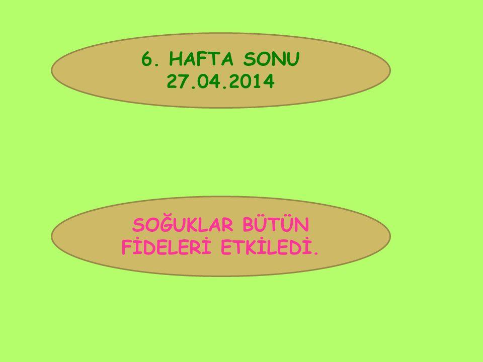 6. HAFTA SONU 27.04.2014 SOĞUKLAR BÜTÜN FİDELERİ ETKİLEDİ.
