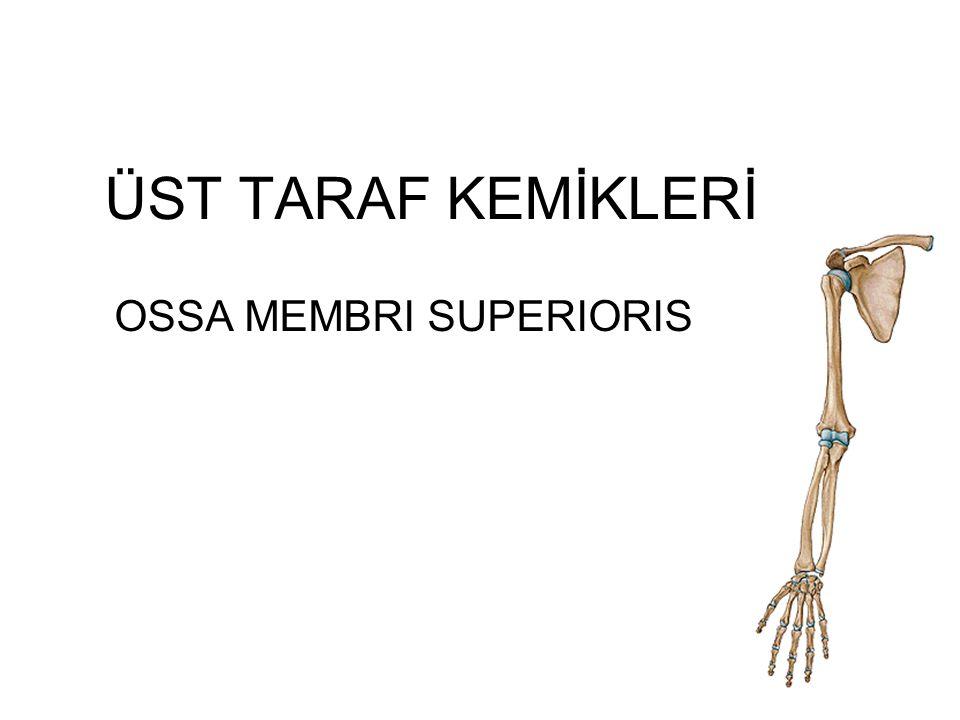 Os Humerus: (kol kemiği) Üst ekstremitenin en büyük kemiğidir.