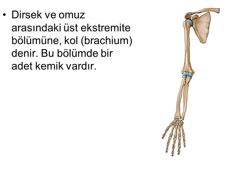 Dirsek ve omuz arasındaki üst ekstremite bölümüne, kol (brachium) denir. Bu bölümde bir adet kemik vardır.