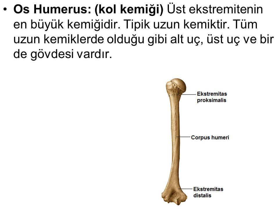 Os Humerus: (kol kemiği) Üst ekstremitenin en büyük kemiğidir. Tipik uzun kemiktir. Tüm uzun kemiklerde olduğu gibi alt uç, üst uç ve bir de gövdesi v