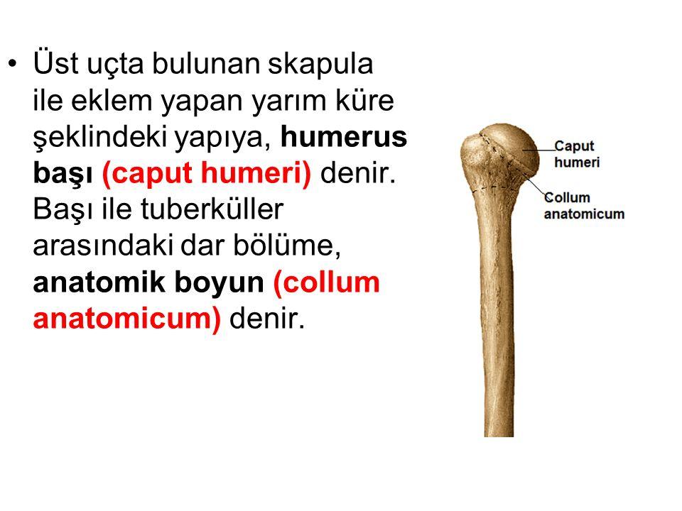 Üst uçta bulunan skapula ile eklem yapan yarım küre şeklindeki yapıya, humerus başı (caput humeri) denir. Başı ile tuberküller arasındaki dar bölüme,