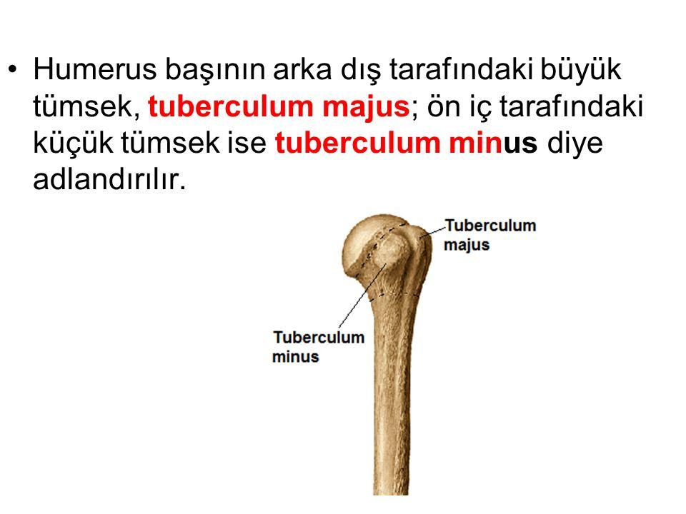 Humerus başının arka dış tarafındaki büyük tümsek, tuberculum majus; ön iç tarafındaki küçük tümsek ise tuberculum minus diye adlandırılır.