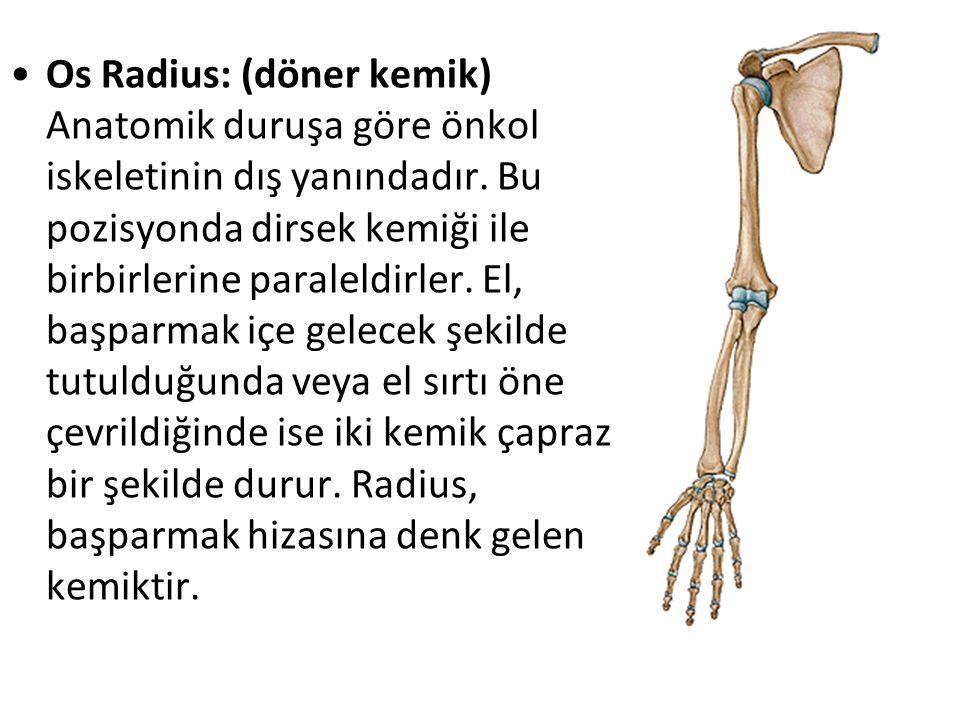 Os Radius: (döner kemik) Anatomik duruşa göre önkol iskeletinin dış yanındadır. Bu pozisyonda dirsek kemiği ile birbirlerine paraleldirler. El, başpar