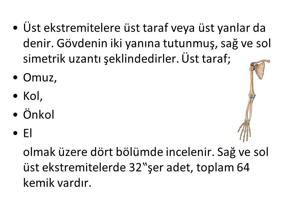 Omuz Kemikleri  Kürek kemiği (os scapulae-skapula)  Köprücük kemiği (os clavicula-klavikula)  Kol kemiği (os brachium) o Kol kemiği ( os humerus)  Önkol kemikleri (ossa antebrachium) o Döner kemik (os radius) o Dirsek kemiği (os ulna)  El kemikleri (ossa manus) o El bilek kemikleri (ossa carpi-karpal kemikler) o El tarak kemikleri (ossa metacarpi-metakarpal kemikler) o El parmak kemikleri (ossa digitorium manus, phalanges)
