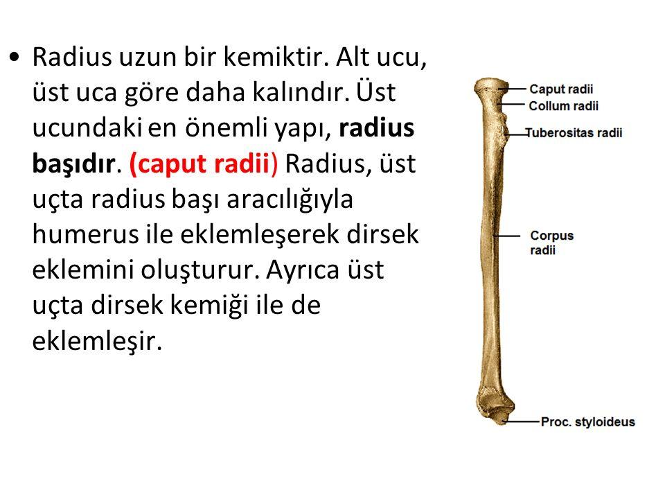 Radius uzun bir kemiktir. Alt ucu, üst uca göre daha kalındır. Üst ucundaki en önemli yapı, radius başıdır. (caput radii) Radius, üst uçta radius başı