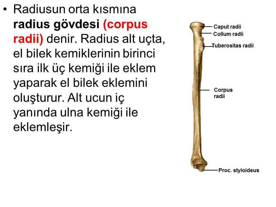 Radiusun orta kısmına radius gövdesi (corpus radii) denir. Radius alt uçta, el bilek kemiklerinin birinci sıra ilk üç kemiği ile eklem yaparak el bile