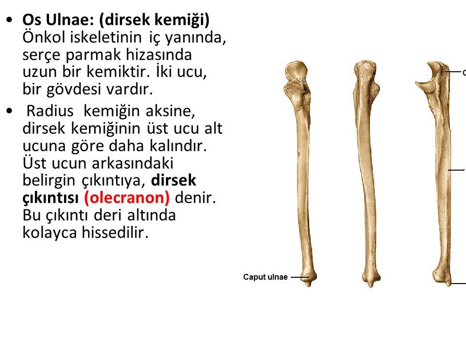 Os Ulnae: (dirsek kemiği) Önkol iskeletinin iç yanında, serçe parmak hizasında uzun bir kemiktir. İki ucu, bir gövdesi vardır. Radius kemiğin aksine,