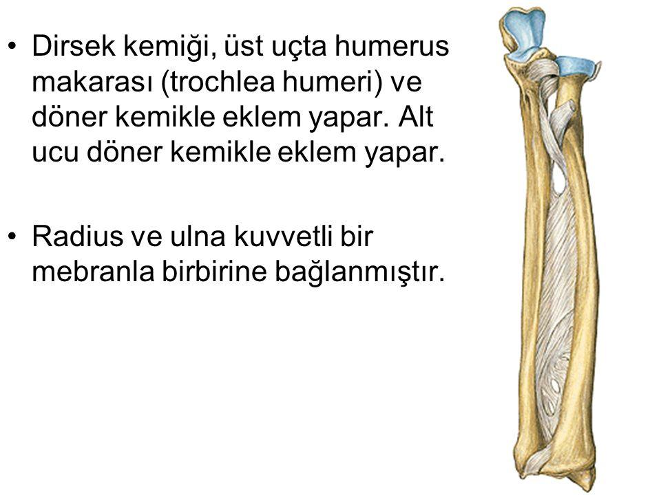 Dirsek kemiği, üst uçta humerus makarası (trochlea humeri) ve döner kemikle eklem yapar. Alt ucu döner kemikle eklem yapar. Radius ve ulna kuvvetli bi
