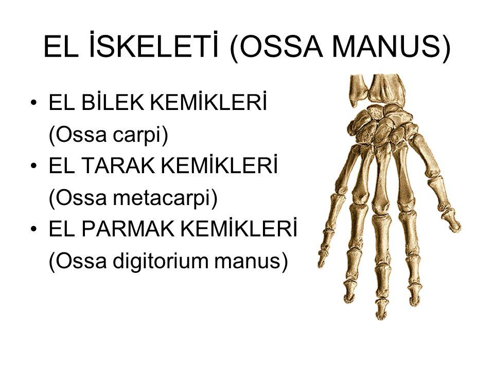 EL İSKELETİ (OSSA MANUS) EL BİLEK KEMİKLERİ (Ossa carpi) EL TARAK KEMİKLERİ (Ossa metacarpi) EL PARMAK KEMİKLERİ (Ossa digitorium manus)