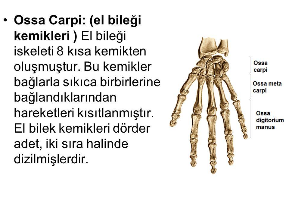 Ossa Carpi: (el bileği kemikleri ) El bileği iskeleti 8 kısa kemikten oluşmuştur. Bu kemikler bağlarla sıkıca birbirlerine bağlandıklarından hareketle