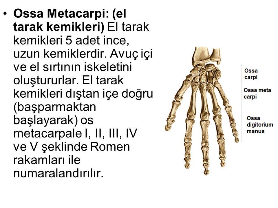 Ossa Metacarpi: (el tarak kemikleri) El tarak kemikleri 5 adet ince, uzun kemiklerdir. Avuç içi ve el sırtının iskeletini oluştururlar. El tarak kemik
