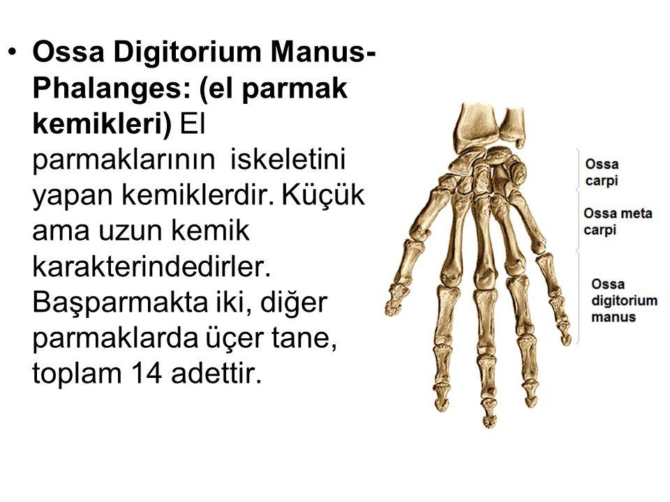 Ossa Digitorium Manus- Phalanges: (el parmak kemikleri) El parmaklarının iskeletini yapan kemiklerdir. Küçük ama uzun kemik karakterindedirler. Başpar