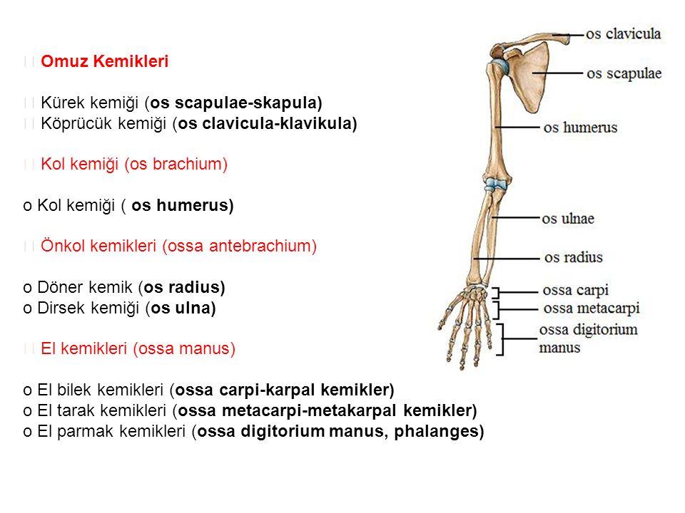  Omuz Kemikleri  Kürek kemiği (os scapulae-skapula)  Köprücük kemiği (os clavicula-klavikula)  Kol kemiği (os brachium) o Kol kemiği ( os humerus)