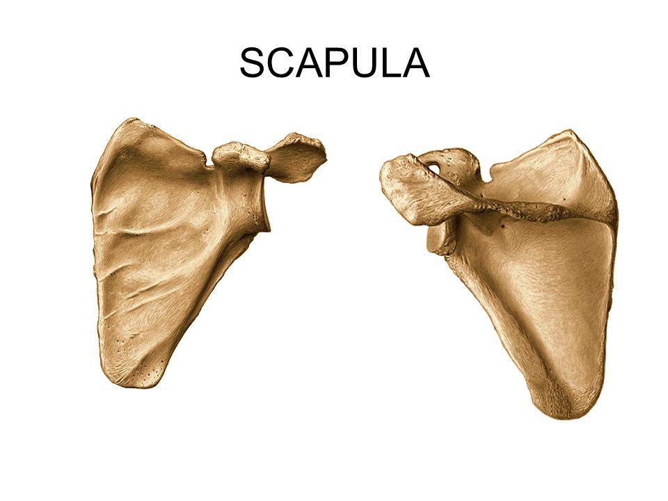 Dirsek kemiği, üst uçta humerus makarası (trochlea humeri) ve döner kemikle eklem yapar.