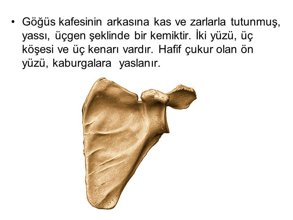 Göğüs kafesinin arkasına kas ve zarlarla tutunmuş, yassı, üçgen şeklinde bir kemiktir. İki yüzü, üç köşesi ve üç kenarı vardır. Hafif çukur olan ön yü
