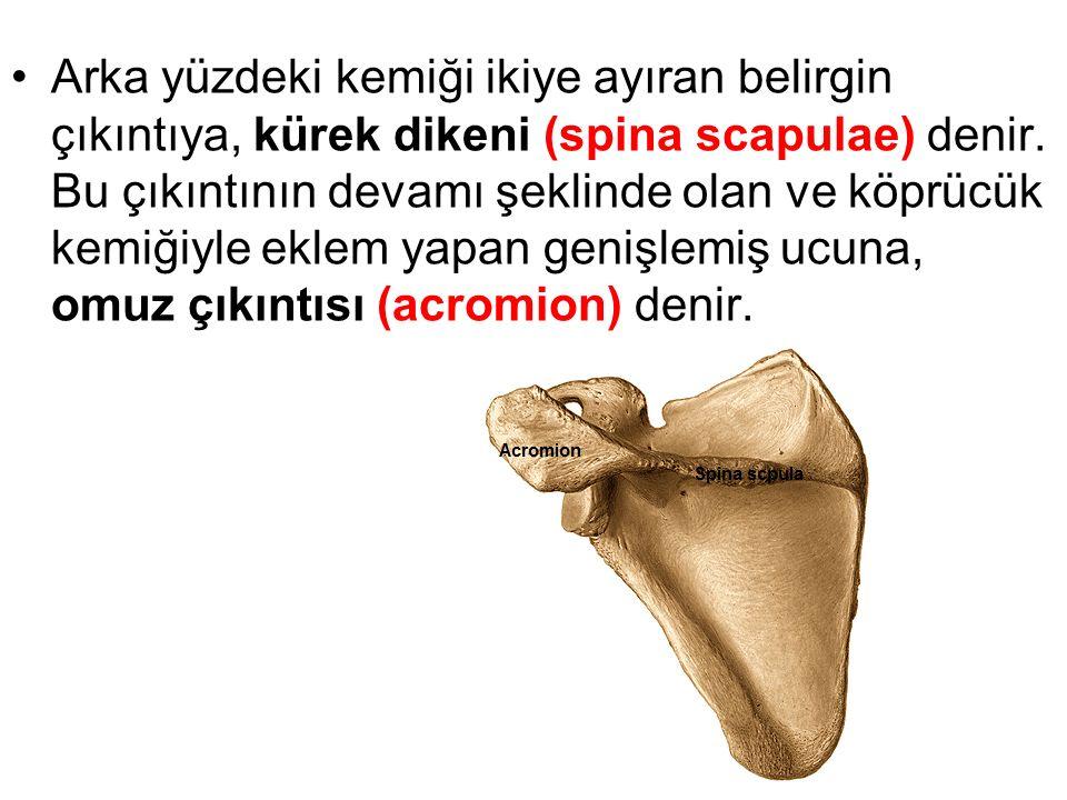 Kürek kemiğinin kalın olan üst dış köşesinde cavitas glenoidalis denen sığ çukur vardır.