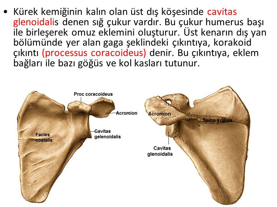 Kürek kemiğinin kalın olan üst dış köşesinde cavitas glenoidalis denen sığ çukur vardır. Bu çukur humerus başı ile birleşerek omuz eklemini oluşturur.