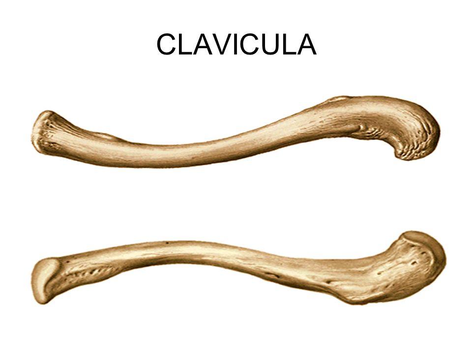 Yatık S şeklinde uzun bir kemiktir.Göğüs kemiği, sternum ve kürek kemiği ile eklem yapar.