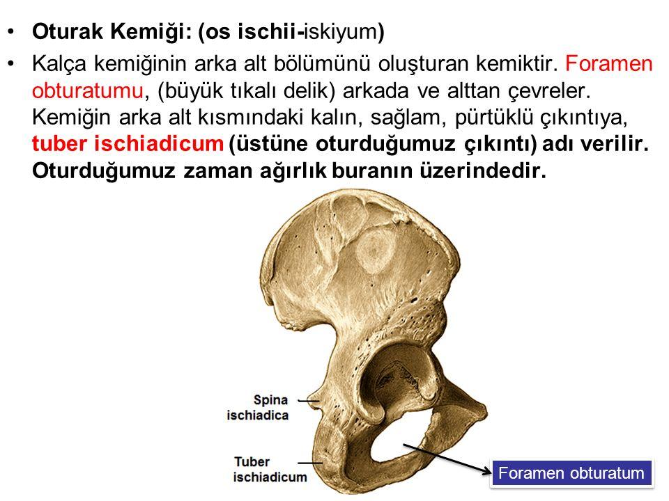 Oturak Kemiği: (os ischii-iskiyum) Kalça kemiğinin arka alt bölümünü oluşturan kemiktir. Foramen obturatumu, (büyük tıkalı delik) arkada ve alttan çev