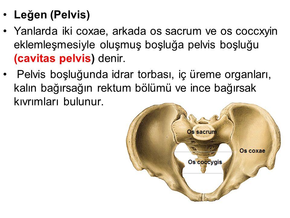 Leğen (Pelvis) Yanlarda iki coxae, arkada os sacrum ve os coccxyin eklemleşmesiyle oluşmuş boşluğa pelvis boşluğu (cavitas pelvis) denir. Pelvis boşlu