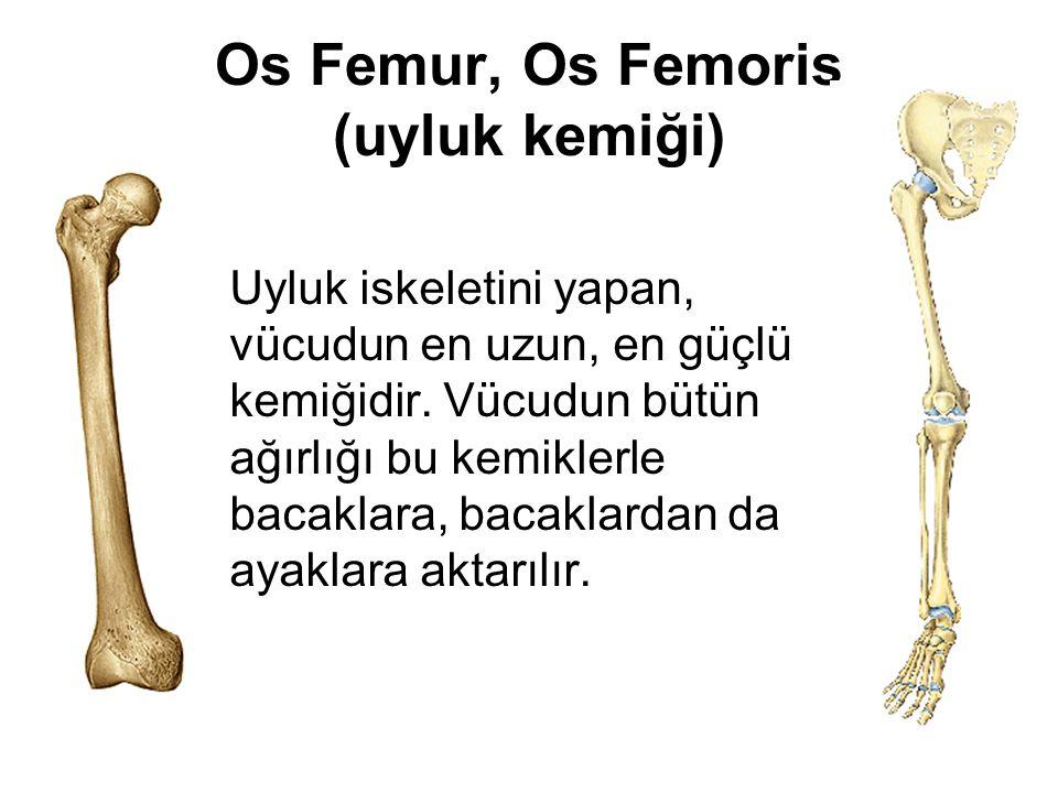 Os Femur, Os Femoris (uyluk kemiği) Uyluk iskeletini yapan, vücudun en uzun, en güçlü kemiğidir. Vücudun bütün ağırlığı bu kemiklerle bacaklara, bacak