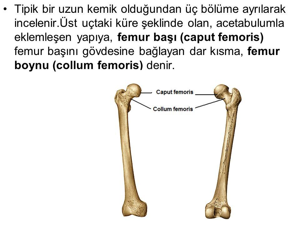 Tipik bir uzun kemik olduğundan üç bölüme ayrılarak incelenir.Üst uçtaki küre şeklinde olan, acetabulumla eklemleşen yapıya, femur başı (caput femoris