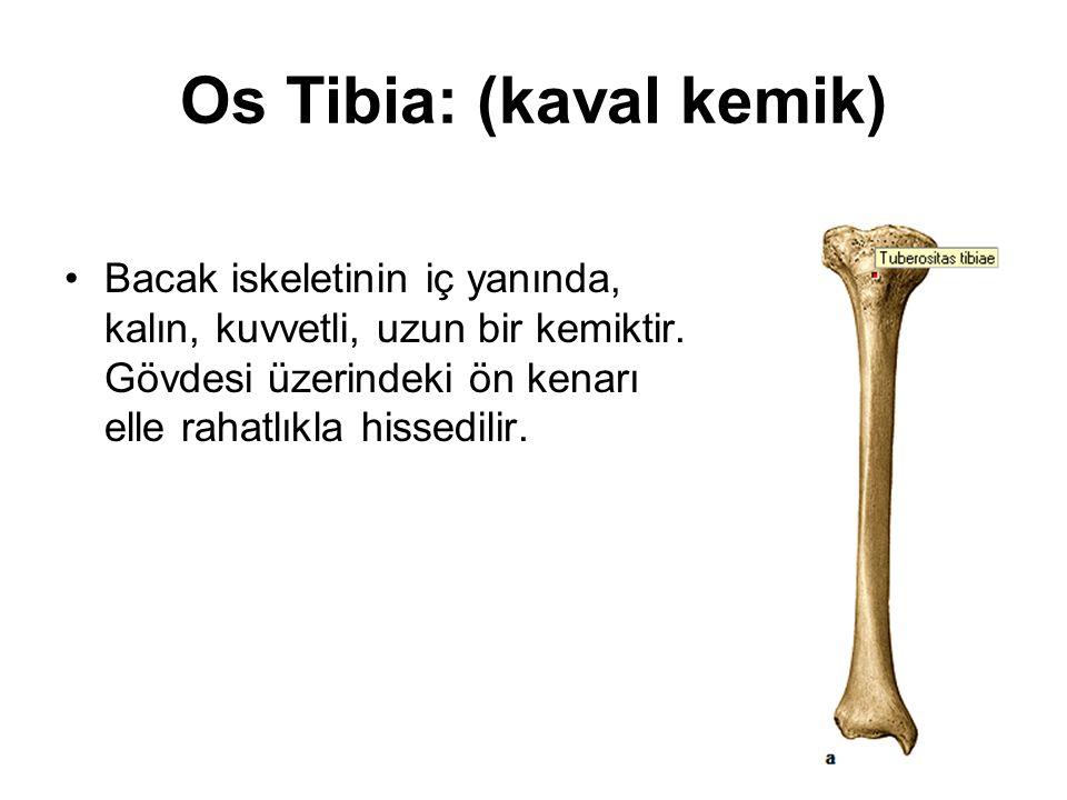 Os Tibia: (kaval kemik) Bacak iskeletinin iç yanında, kalın, kuvvetli, uzun bir kemiktir. Gövdesi üzerindeki ön kenarı elle rahatlıkla hissedilir.