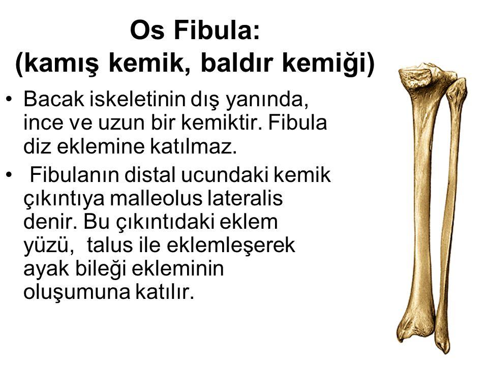 Os Fibula: (kamış kemik, baldır kemiği) Bacak iskeletinin dış yanında, ince ve uzun bir kemiktir. Fibula diz eklemine katılmaz. Fibulanın distal ucund