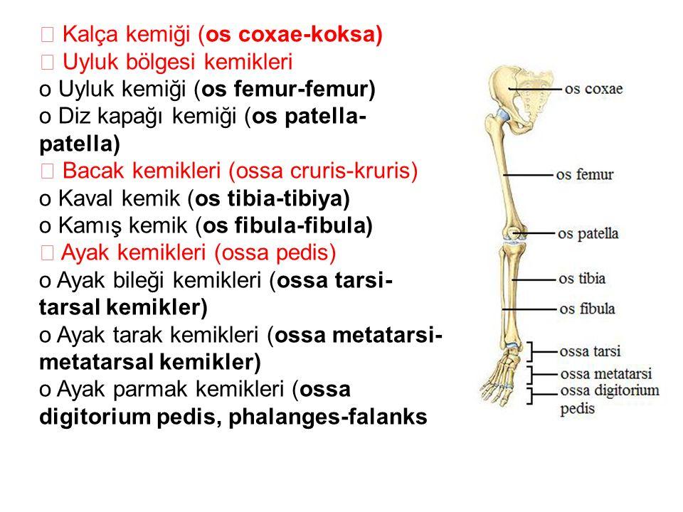  Kalça kemiği (os coxae-koksa)  Uyluk bölgesi kemikleri o Uyluk kemiği (os femur-femur) o Diz kapağı kemiği (os patella- patella)  Bacak kemikleri