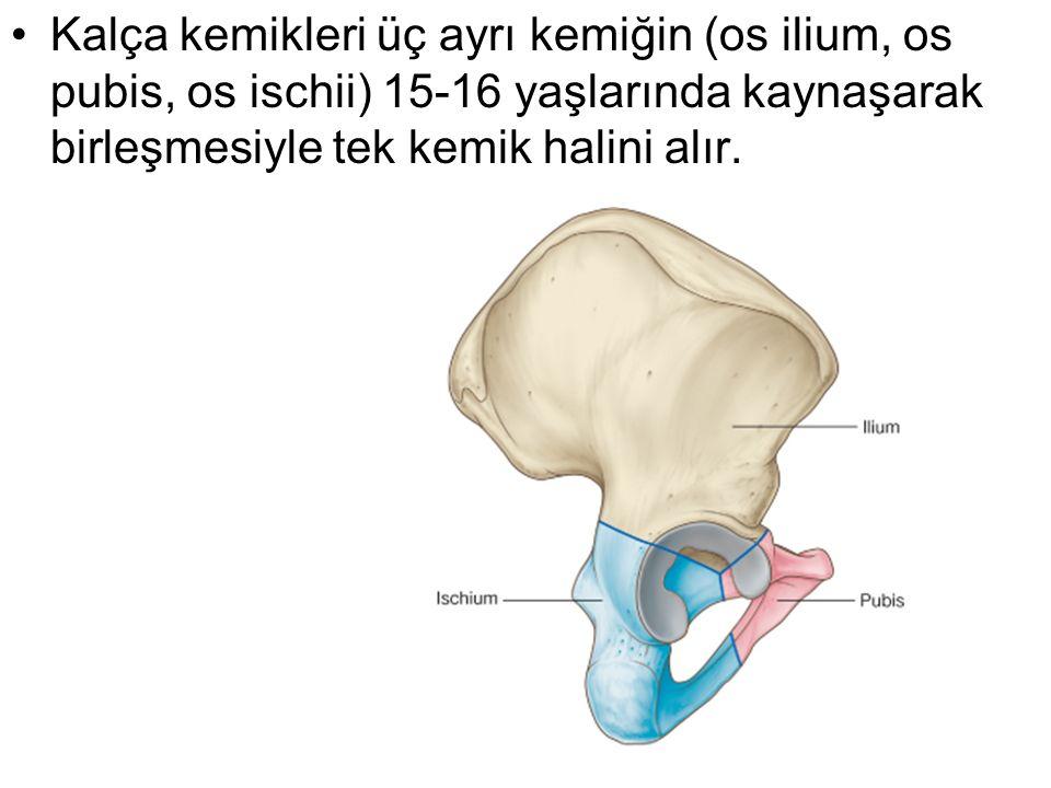 Kalça kemikleri üç ayrı kemiğin (os ilium, os pubis, os ischii) 15-16 yaşlarında kaynaşarak birleşmesiyle tek kemik halini alır.