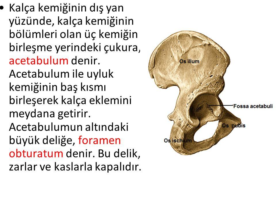Tipik bir uzun kemik olduğundan üç bölüme ayrılarak incelenir.Üst uçtaki küre şeklinde olan, acetabulumla eklemleşen yapıya, femur başı (caput femoris) femur başını gövdesine bağlayan dar kısma, femur boynu (collum femoris) denir.