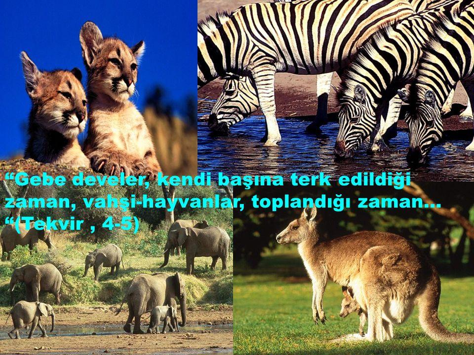 """""""Gebe develer, kendi başına terk edildiği zaman, vahşi-hayvanlar, toplandığı zaman… """"(Tekvir, 4-5)"""