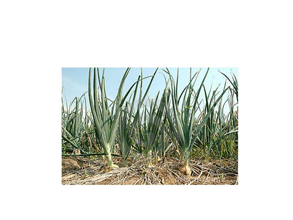 Hangi iklimlerde yetişir.Soğan serin iklimleri seven bir bitkidir.