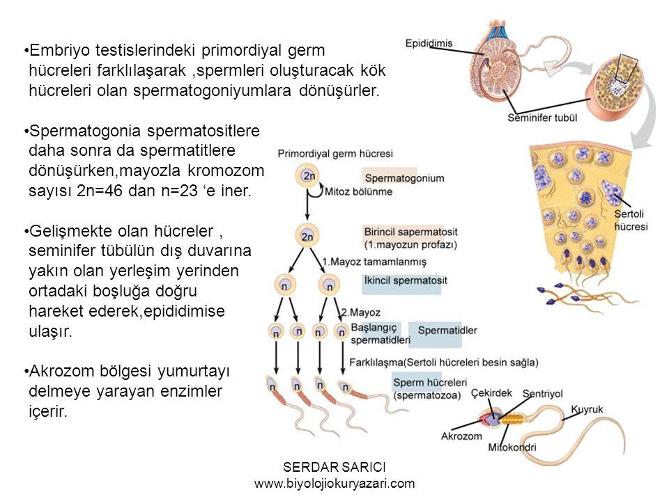 Embriyo testislerindeki primordiyal germ hücreleri farklılaşarak,spermleri oluşturacak kök hücreleri olan spermatogoniyumlara dönüşürler.
