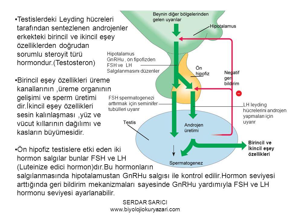 LH leyding hücrelerini androjen yapmaları için uyarır Hipotalamus GnRHu, ön fipofizden FSH ve LH Salgılanmasını düzenler FSH spermatogenezi arttırmak için seminifer tubülleri uyarır Birincil ve İkincil eşey özellikleri Testislerdeki Leyding hücreleri tarafından sentezlenen androjenler erkekteki birincil ve ikincil eşey özelliklerden doğrudan sorumlu steroyit türü hormondur.(Testosteron) Birincil eşey özellikleri üreme kanallarının,üreme organının gelişimi ve sperm üretimi dir.İkincil eşey özellikleri sesin kalınlaşması,yüz ve vücut kıllarının dağılımı ve kasların büyümesidir.