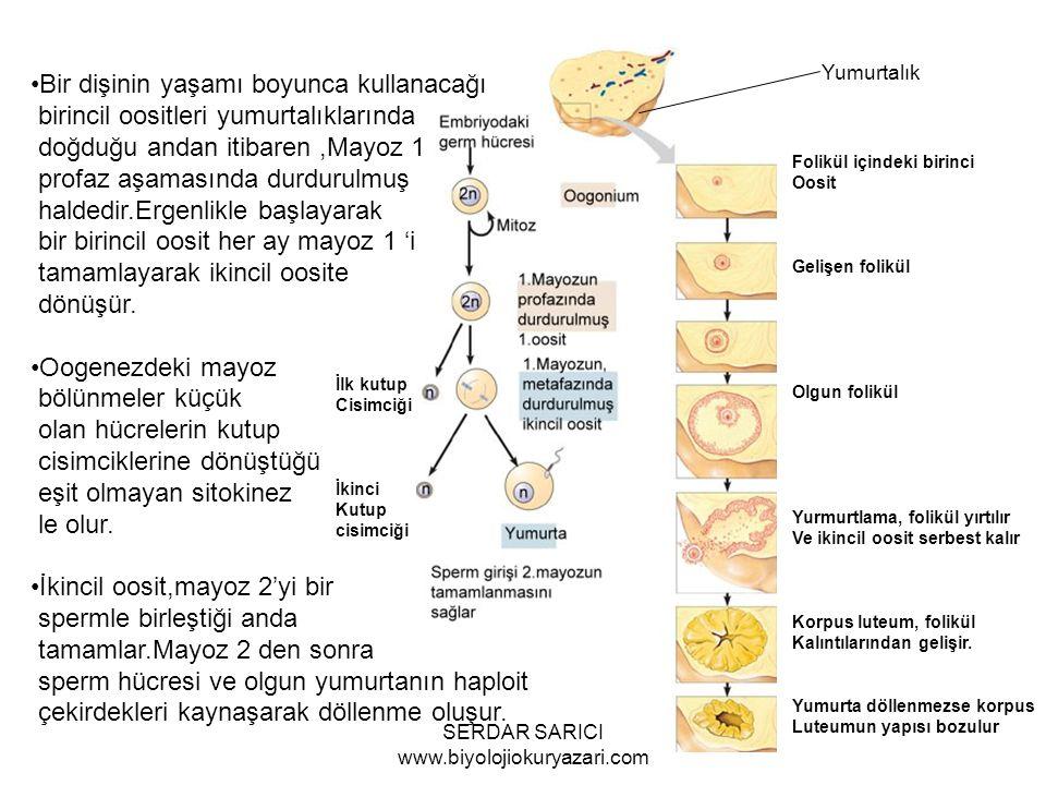 Folikül içindeki birinci Oosit Gelişen folikül Olgun folikül Yurmurtlama, folikül yırtılır Ve ikincil oosit serbest kalır Korpus luteum, folikül Kalıntılarından gelişir.