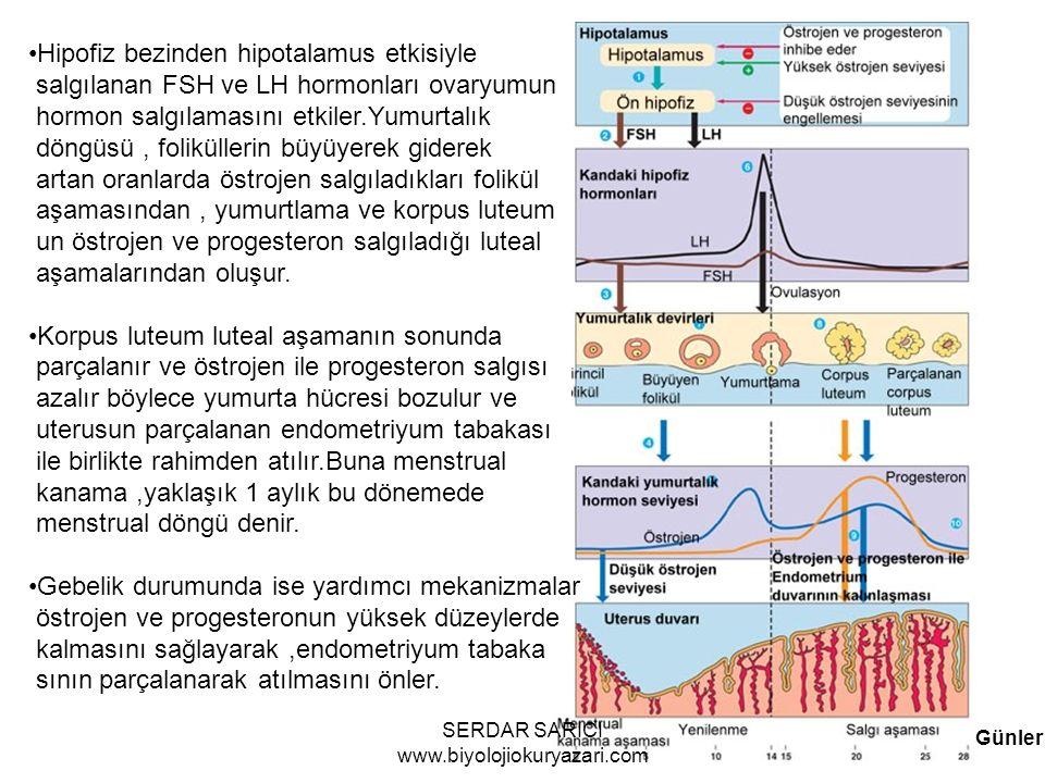 Günler Hipofiz bezinden hipotalamus etkisiyle salgılanan FSH ve LH hormonları ovaryumun hormon salgılamasını etkiler.Yumurtalık döngüsü, foliküllerin büyüyerek giderek artan oranlarda östrojen salgıladıkları folikül aşamasından, yumurtlama ve korpus luteum un östrojen ve progesteron salgıladığı luteal aşamalarından oluşur.